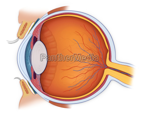 normal anatomy of the eye in