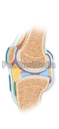 normal cross section of the knee