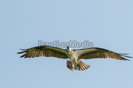 osprey pandion haliaetus flying sebring florida