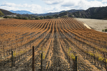 vineyard in autumn santa ynez california