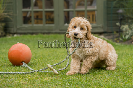 a cockapoo playing with a rope