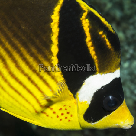 racoon butterflyfish chaetodon lunula close up