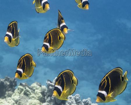 racoon butterflyfish chaetodon lunula schooling off