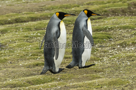 king penguin aptenodytes patagonicus pair salisbury