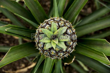 ananas plantation faja de baixo sao