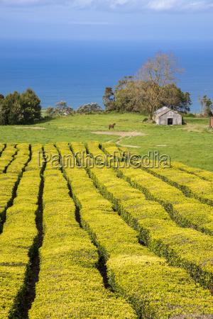 gorreana tea plantation azores is the