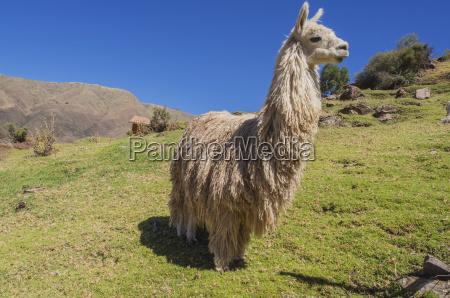 an alpaca vicugna pacos on a