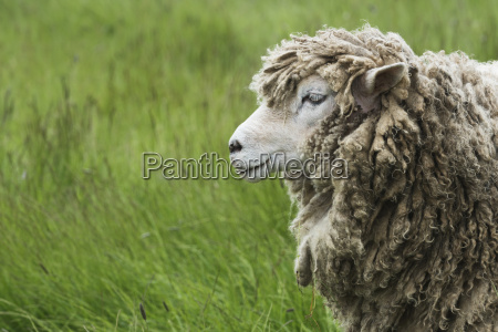 a sheep ovis aries covered in