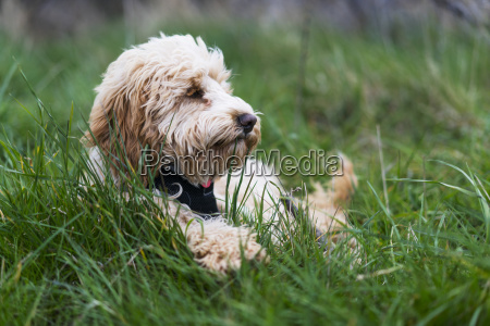 a blond cockapoo rests in the