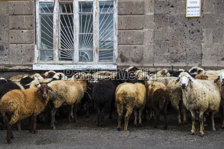 flock of sheep ovis aries on