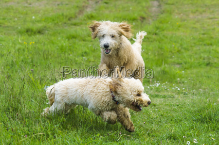 two dogs running and playing on
