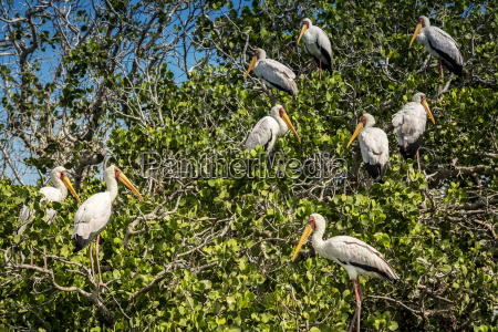 flamingos on the mangroves pemba cabo