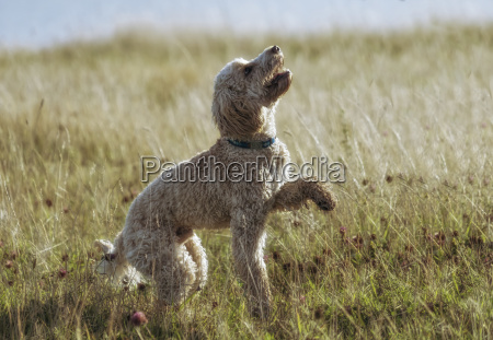 a blond cockapoo plays in the