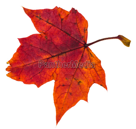 red autumn leaf of maple tree