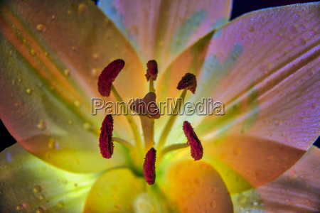 backlit lily liliaceae in studio new
