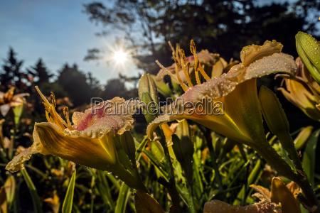 sun rising behind daylilies hemerocallis