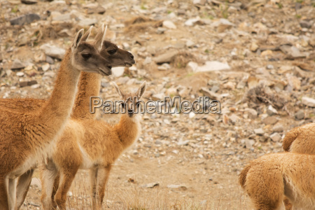 herd of vicunas with young looking
