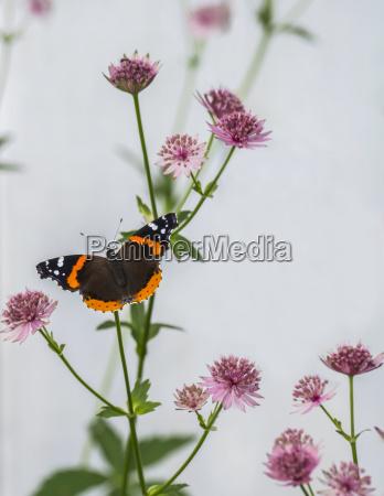 a red admiral butterfly vanessa atalanta