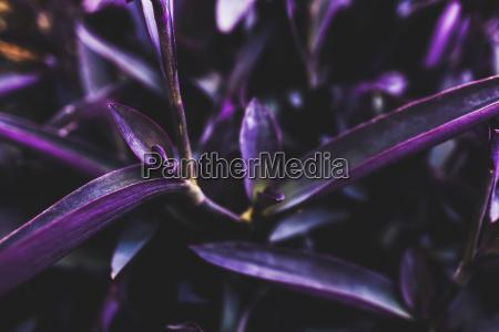 vibrant purple foliage on a succulent