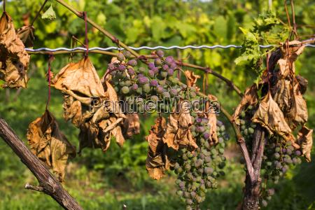 diseased frontenac noir grapes hanging in