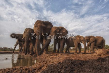 african bush elephants loxodonta africana standing