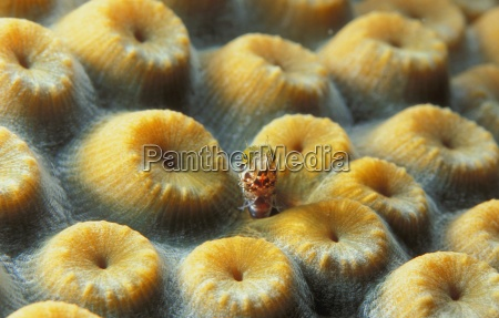 goby hiding in moon polyp