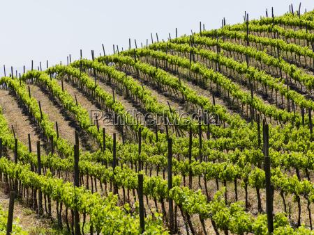 vineyard in a wine region casablanca