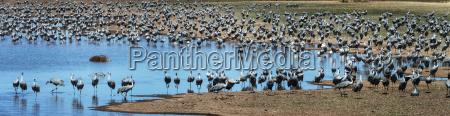 sandhill cranes grus canadensis whitewater draw