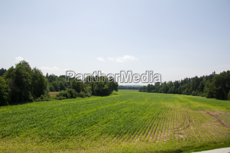 large cornfield of shrubbery surrounded in