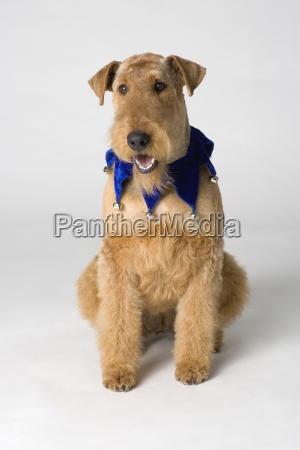 pedigree terrier
