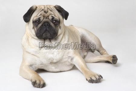 pedigree pug dog