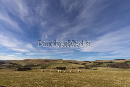sheep grazing in a wide open