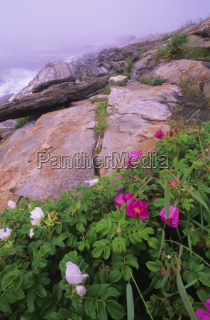roses on mountain pemaquid point bristol