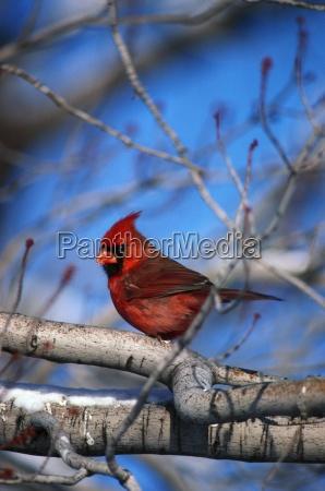male northern cardinal bird