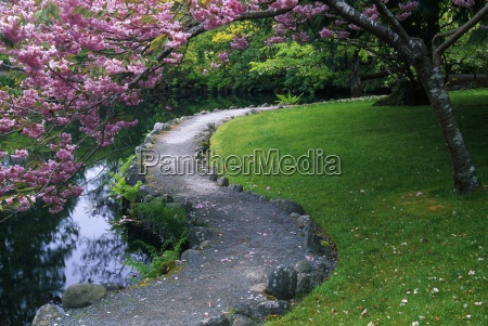 blooming cherry tree over pathway royal