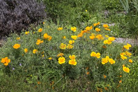california poppy eschscholzia californica