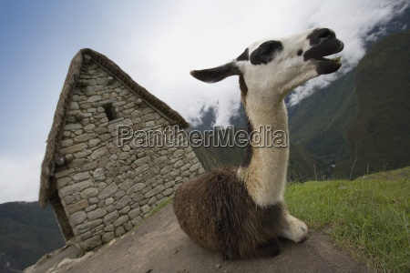 a llama at the ancient inca