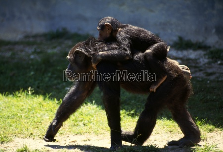 mother chimp with baby on back