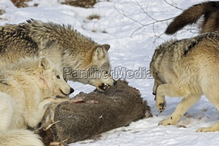 wolf pack and kill