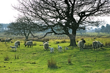 sheep grazing in a pasture derbyshire