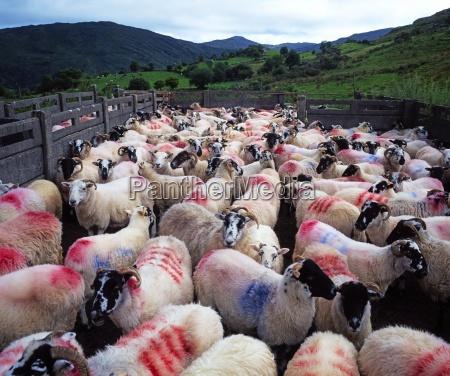 bonane sheep county kerry ireland