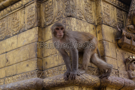 temple monkey on the golden steps