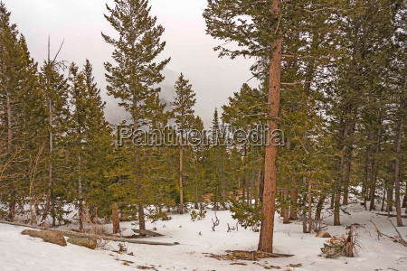 spring snow amongst the pines in