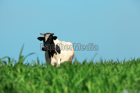 single cow on the grass