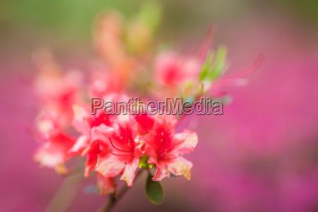 pink and purple azalea flowers