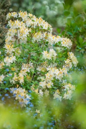 white and yellow azalea flowers