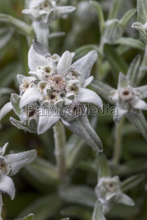close up of edelweiss
