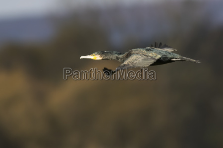 cormorant phalacrocorax carbo on oekosee in