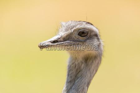 greater rhea rhea americana head