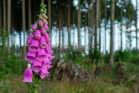 digitalis red thimble